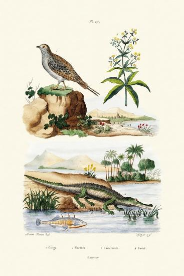 Sandgrouse, 1833-39--Giclee Print