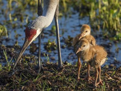 Sandhill Crane Colts on Nest with Parent, Florida-Maresa Pryor-Photographic Print