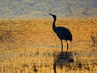 Sandhill Crane drinking in pond, Bosque del Apache National Wildlife Refuge, Socorro, New Mexico-Larry Ditto-Photographic Print
