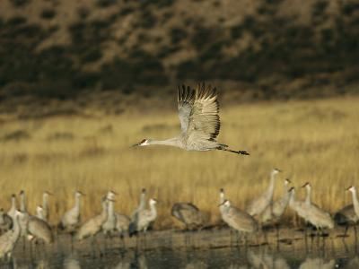 Sandhill Crane Flying Past Others Standing Around Water-Marc Moritsch-Photographic Print