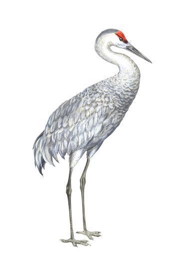Sandhill Crane (Grus Canadensis), Birds-Encyclopaedia Britannica-Art Print