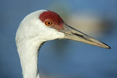 Sandhill Crane, Grus Canadensis Close Up of Head-Richard Wright-Photographic Print