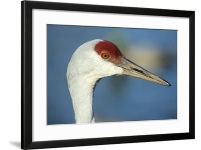 Sandhill Crane, Grus Canadensis Close Up of Head-Richard Wright-Framed Photographic Print