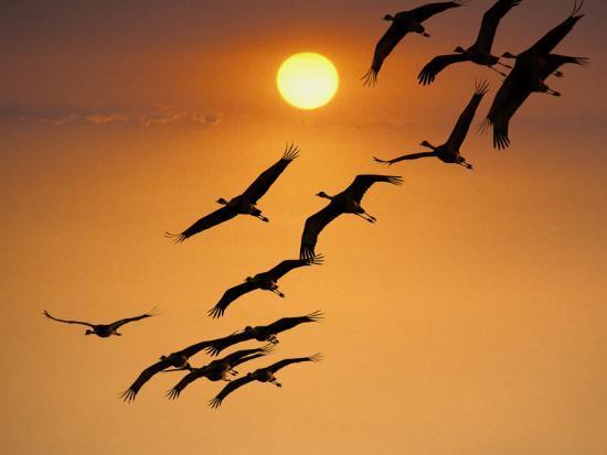 Sandhill Crane (Grus Canadensis) Migration Along Platte River-Mark Newman-Photographic Print