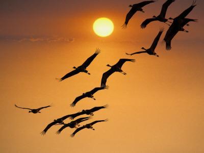 https://imgc.artprintimages.com/img/print/sandhill-crane-grus-canadensis-migration-along-platte-river_u-l-pd5n7s0.jpg?p=0