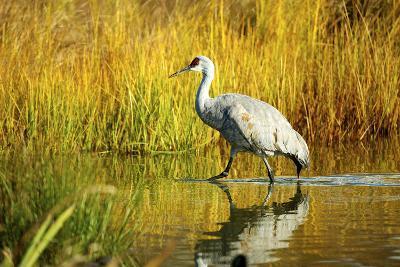 Sandhill Crane, Grus Canadensis, Stalking in Marsh-Richard Wright-Photographic Print