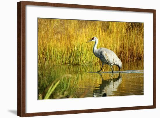 Sandhill Crane, Grus Canadensis, Stalking in Marsh-Richard Wright-Framed Photographic Print