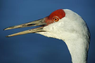 Sandhill Crane, Grus Canadensis with Beak Open in Call-Richard Wright-Photographic Print