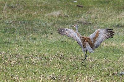 Sandhill Crane, Grus Canadensis, with Spread Wings-Tom Murphy-Photographic Print