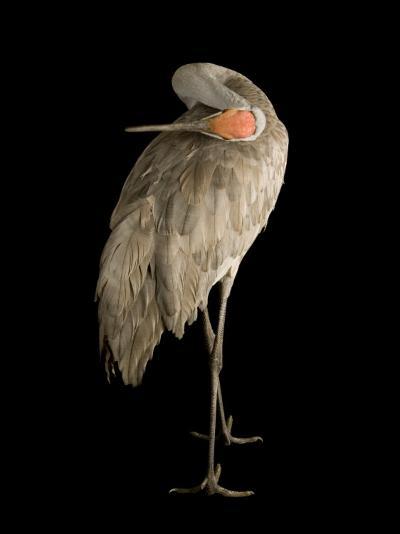 Sandhill Crane, Grus Canadensis-Joel Sartore-Photographic Print
