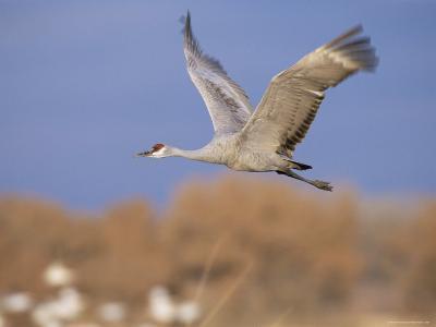 Sandhill Crane in Flight, Bosque Del Apache National Park, NM, USA-Rolf Nussbaumer-Photographic Print