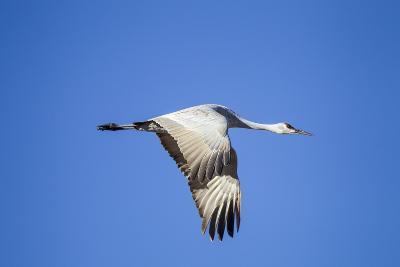 Sandhill Crane in Flight, Bosque Del Apache, New Mexico-Paul Souders-Photographic Print