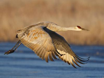 Sandhill Crane in Flight , New Mexico, USA-Larry Ditto-Photographic Print