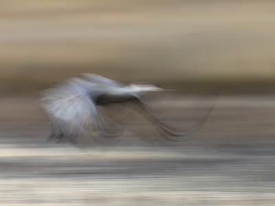 Sandhill Crane in motion Bosque del Apache NWR, New Mexico-Maresa Pryor-Photographic Print