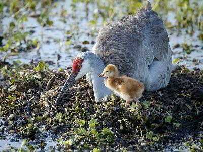 Sandhill Crane on Nest with 2 Day Old Colt, Waiting on Second Egg to Hatch, Florida-Maresa Pryor-Photographic Print