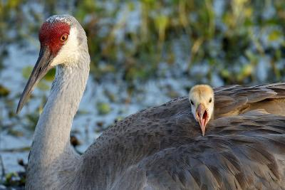 Sandhill Crane on Nest with Baby on Back, Florida-Maresa Pryor-Photographic Print