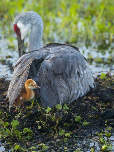 Sandhill Crane on Nest with Colt under Wing, Florida-Maresa Pryor-Photographic Print