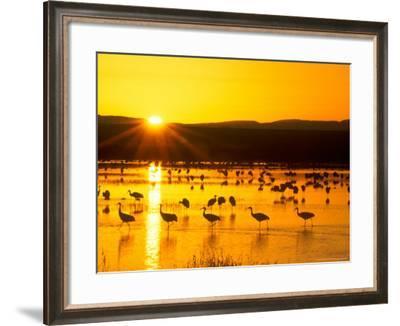 Sandhill Crane Sunrise, Bosque del Apache, New Mexico, USA-Rob Tilley-Framed Photographic Print