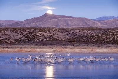 Sandhill Cranes and Full Moon, Bosque Del Apache, New Mexico-Paul Souders-Photographic Print