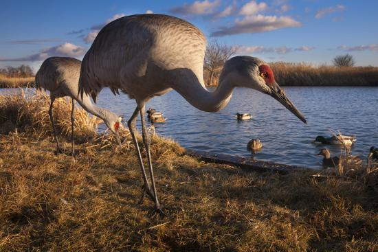 Sandhill Cranes and Mallard Ducks, British Columbia, Canada-Art Wolfe-Photographic Print