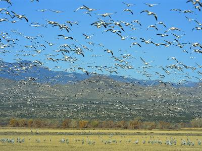Sandhill Cranes and Snow Geese Take Flight Together-Norbert Rosing-Photographic Print