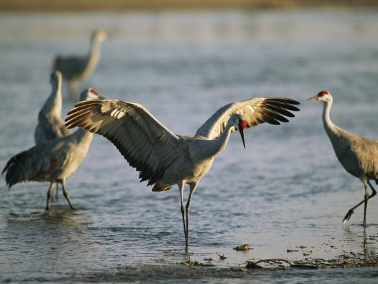 Sandhill Cranes at the Platte River Roost--Photographic Print