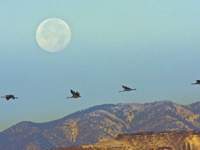 Sandhill Cranes, Bosque Del Apache National Wildlife Refuge, New Mexico, USA-Cathy & Gordon Illg-Photographic Print