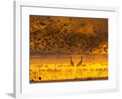 Sandhill Cranes, Bosque Del Apache National Wildlife Refuge, New Mexico, USA-Cathy & Gordon Illg-Framed Photographic Print