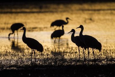 Sandhill Cranes, Bosque Del Apache, New Mexico-Paul Souders-Photographic Print