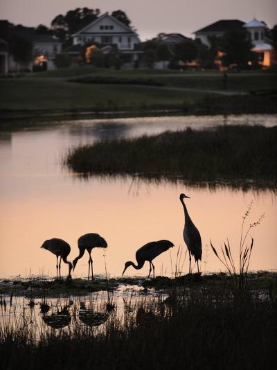 Sandhill Cranes Feed in One of the Neighborhoods of Harmony, Florida-Jim Richardson-Photographic Print