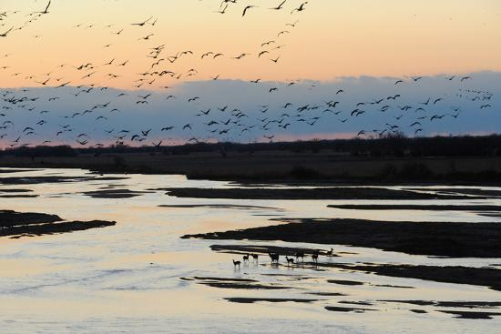 Sandhill Cranes Fly in Migration over White Tailed Deer-Michael Forsberg-Photographic Print