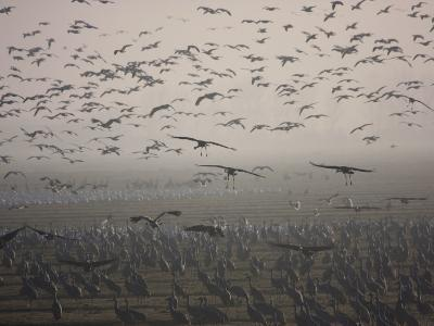 Sandhill Cranes Flying and Resting in Morning Fog-Marc Moritsch-Photographic Print
