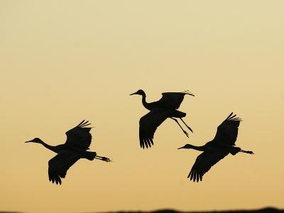 Sandhill Cranes Flying at Dusk (Grus Canadensis), Bosque Del Apache, New Mexico, USA-Tom Walker-Photographic Print