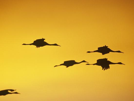 It Was Twilight And Sandhill Cranes >> Sandhill Cranes Flying At Twilight Grus Canadensis North America
