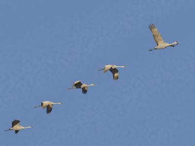 Sandhill Cranes Flying in Formation-DLILLC-Photographic Print
