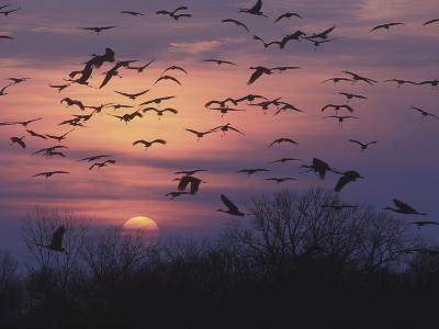 Sandhill Cranes Flying to Roost (Grus Canadensis), Platte River, Nebraska, USA-Tom Walker-Photographic Print