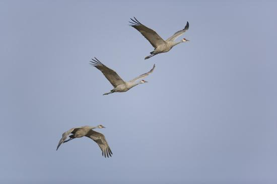 Sandhill Cranes Flying-DLILLC-Photographic Print