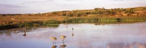 Sandhill Cranes (Grus Canadensis) in a Pond at a Celery Field, Sarasota, Sarasota County