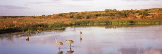 Sandhill Cranes (Grus Canadensis) in a Pond at a Celery Field, Sarasota, Sarasota County--Photographic Print