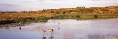 https://imgc.artprintimages.com/img/print/sandhill-cranes-grus-canadensis-in-a-pond-at-a-celery-field-sarasota-sarasota-county_u-l-pnugn60.jpg?p=0