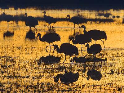 Sandhill Cranes in a Wetland at Sunset, New Mexico Usa-Tim Fitzharris-Photographic Print