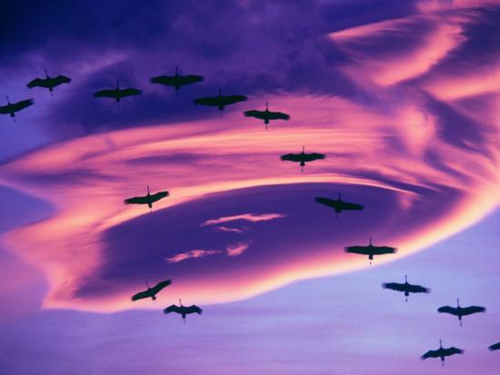 Sandhill Cranes in Flight and Lenticular Cloud Formation over Mt. Shasta, California-Tom Haseltine-Photographic Print