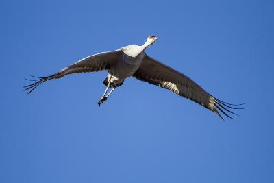 Sandhill Cranes in Flight, Bosque Del Apache, New Mexico-Paul Souders-Photographic Print