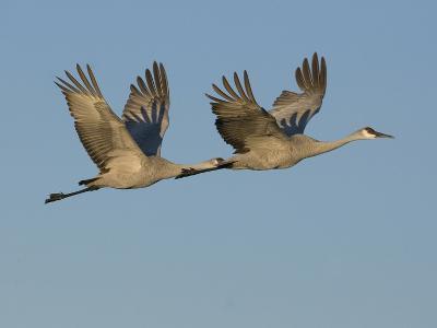 Sandhill Cranes in Flight (Grus Canadensis), Bosque Del Apache, New Mexico, USA-Tom Walker-Photographic Print