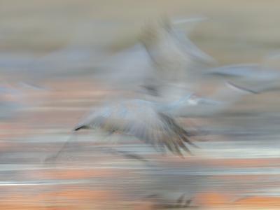 Sandhill Cranes in motion Bosque del Apache NWR, New Mexico-Maresa Pryor-Photographic Print