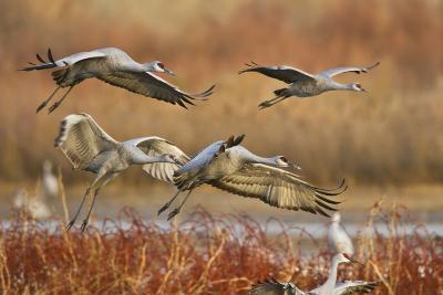Sandhill Cranes Landing, Bosque Del Apache NWR, New Mexico, USA-Larry Ditto-Photographic Print