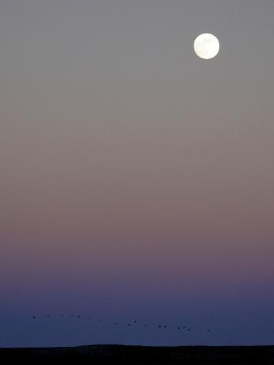 Sandhill Cranes Moon Flying Under Full Moon at Twilight-Arthur Morris-Photographic Print