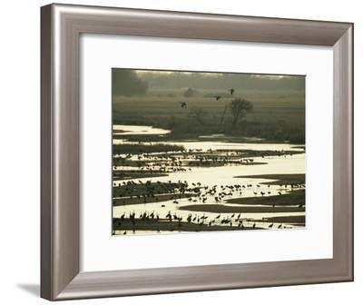 Sandhill Cranes Roost in the Platte River at Sunset-Joel Sartore-Framed Photographic Print