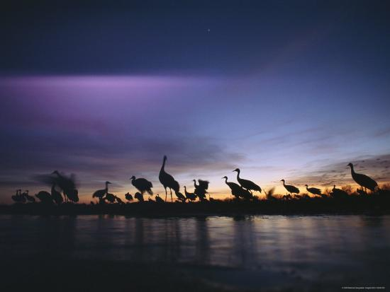Sandhill Cranes Roost on the Platte River at Twilight--Photographic Print