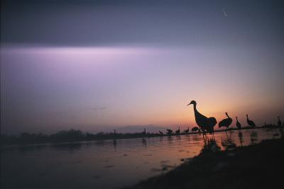 Sandhill Cranes Roost on the Platte River at Twilight-Joel Sartore-Photographic Print